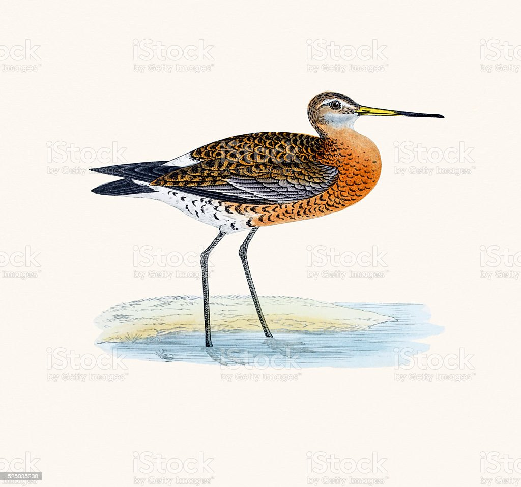 Black-tailed godwit bird 19 century illustration vector art illustration
