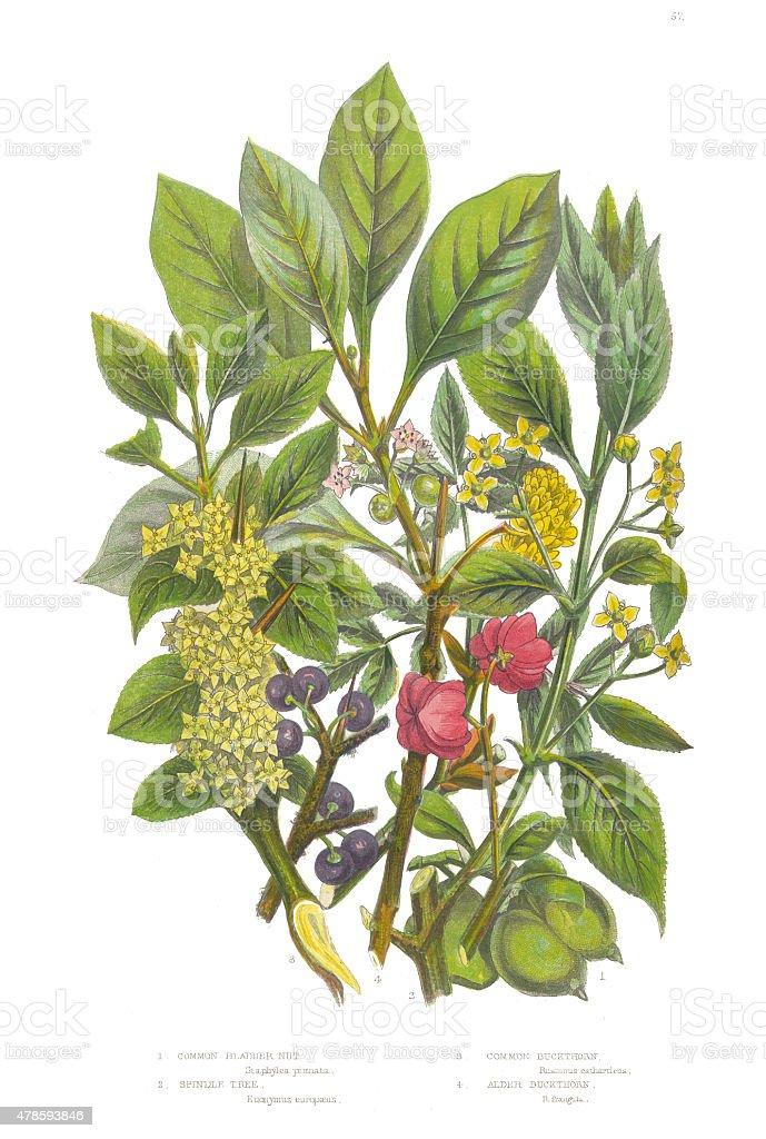 Bladder Nut, Spindle and Buckthorn Tree Victorian Botanical Illustration vector art illustration