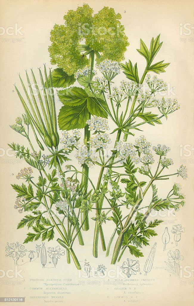 Bladderseed, Horse Parsley, Parsley, Shepherds Needle, Victorian Botanical Illustration vector art illustration