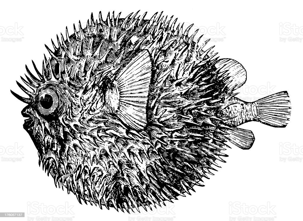 Blowfish | Antique Animal Illustrations royalty-free stock vector art