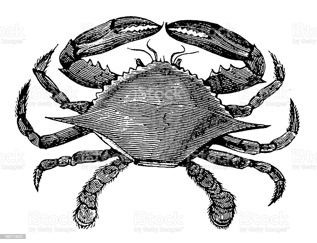 Blue Crab   Antique Animal Illustrations vector art illustration