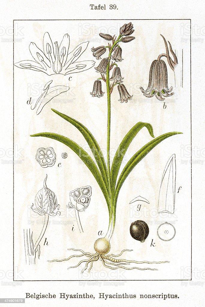 Bluebell (Scilla-non-scripta) vector art illustration