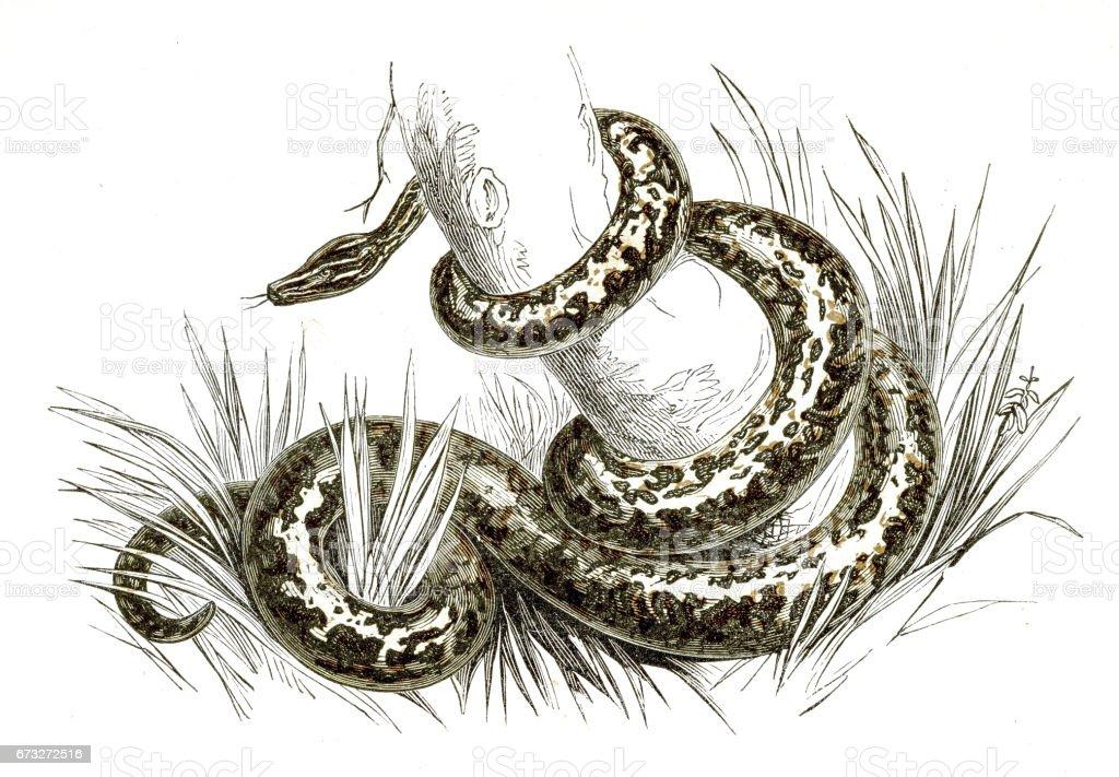 Boa constrictor engraving 1851 vector art illustration