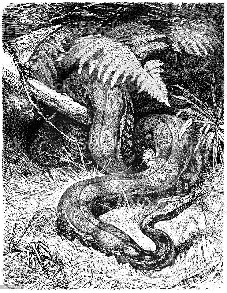 Boa Constrictor vector art illustration