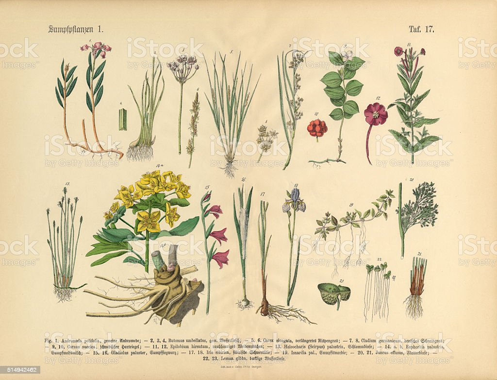 Bog Plants, Wildflowers, and Water Plants, Victorian Botanical Illustration vector art illustration