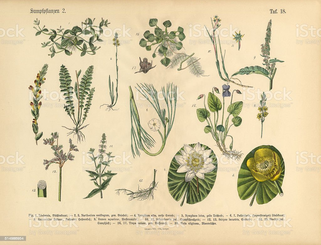 Bog Plants, Wildflowers, and Water Plants, Victorian Botanical Illustration vector art illustration