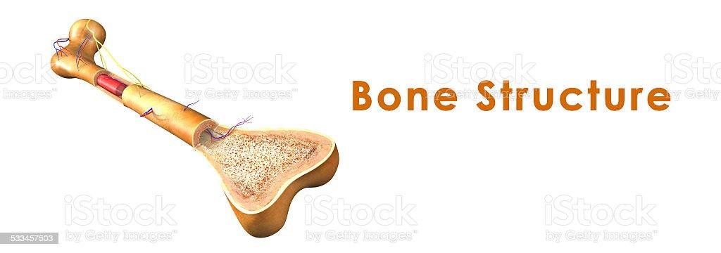 Bone structure vector art illustration