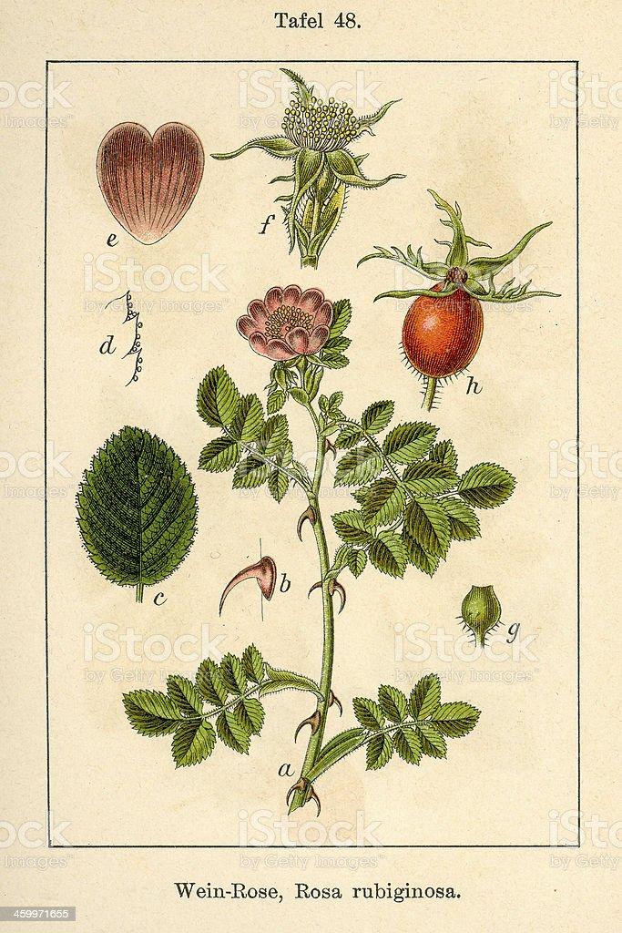 Botanic FiA v08 t48 Rosa rubiginosa vector art illustration