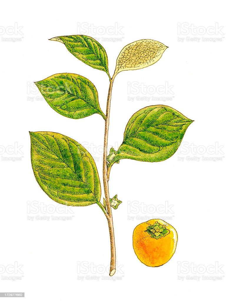 Botanical Plant. royalty-free stock vector art