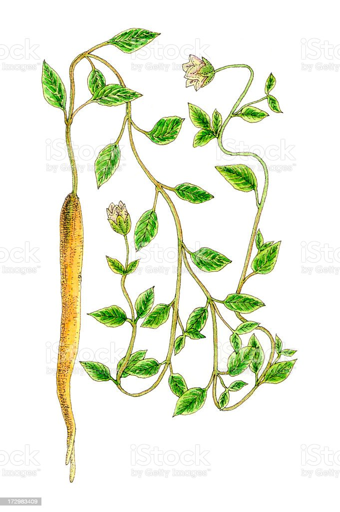 Botanical Plant. royalty-free stock vector art