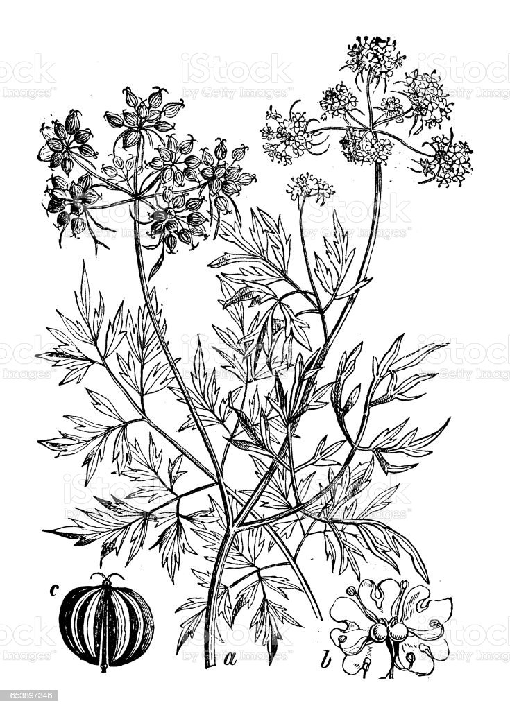 Botany plants antique engraving illustration: Aethusa cynapium (fool's parsley, fool's cicely or poison parsley) vector art illustration