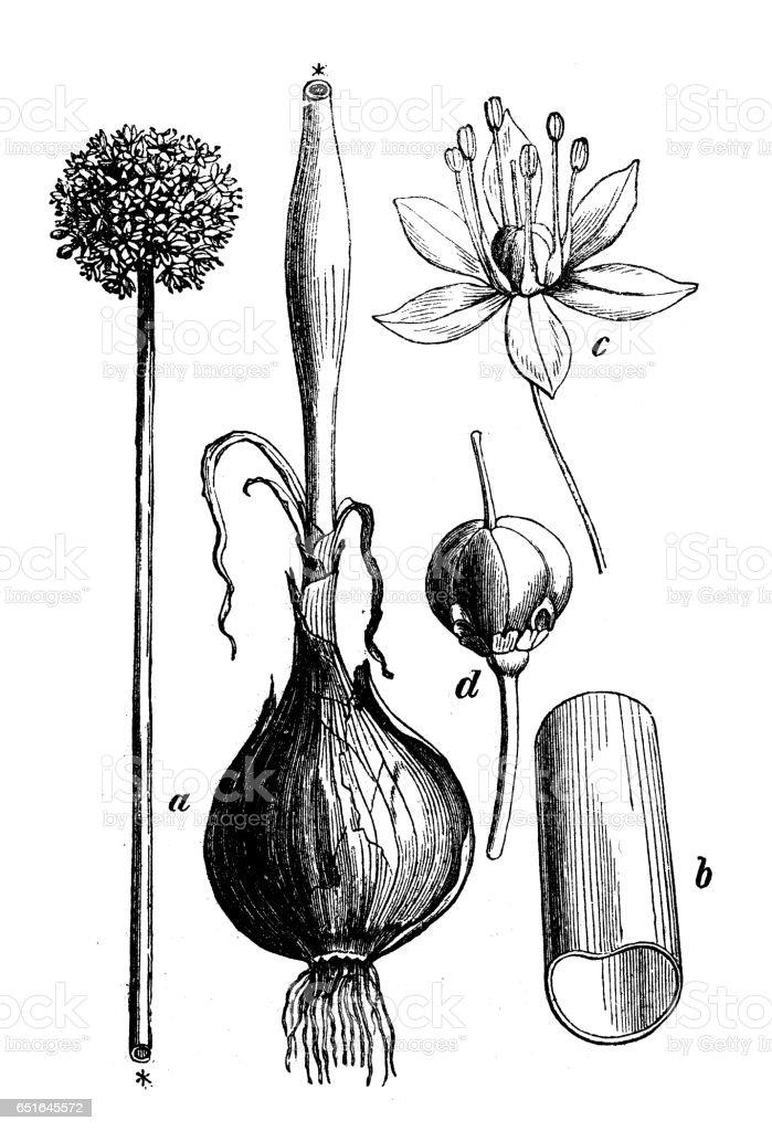 Botany plants antique engraving illustration: Allium cepa (onion) vector art illustration