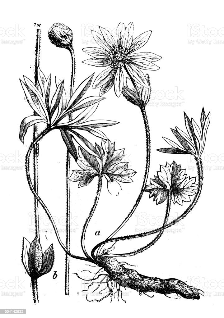 Botany plants antique engraving illustration: Anemone hortensis (broad-leaved anemone) vector art illustration