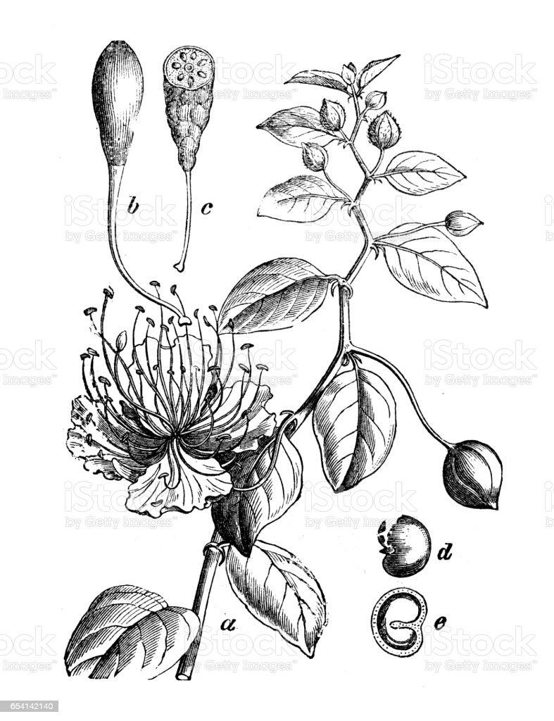 Botany plants antique engraving illustration: Capparis spinosa (caper bush) vector art illustration