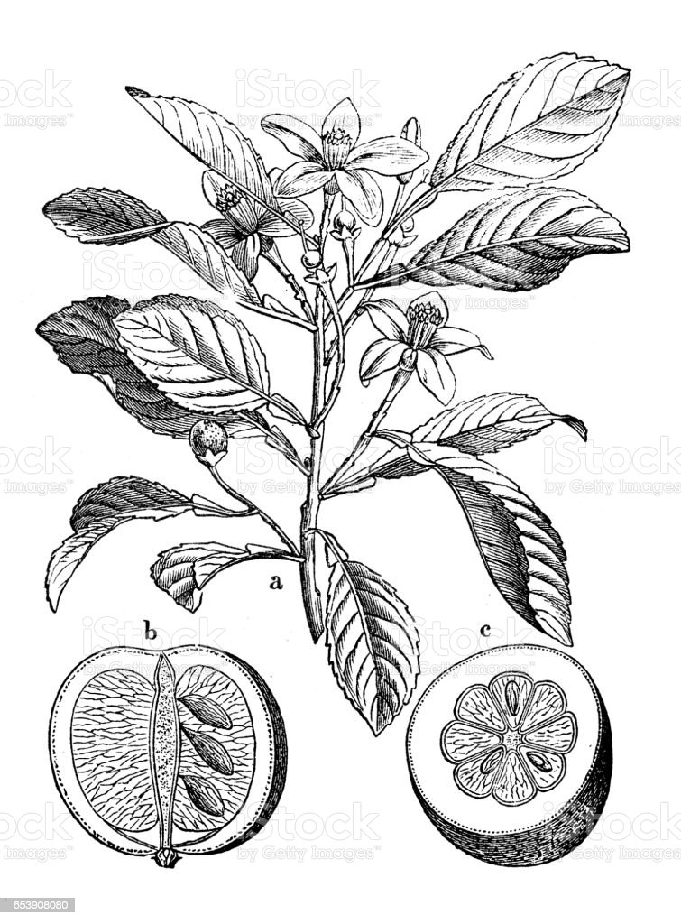 Botany plants antique engraving illustration: Citrus aurantium (Bitter orange, Seville orange, sour orange, bigarade orange) vector art illustration