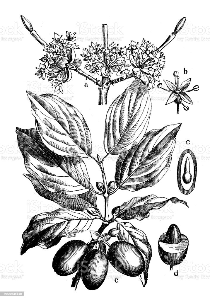 Botany plants antique engraving illustration: Cornus mas (Cornelian cherry, European cornel or Cornelian cherry dogwood) vector art illustration
