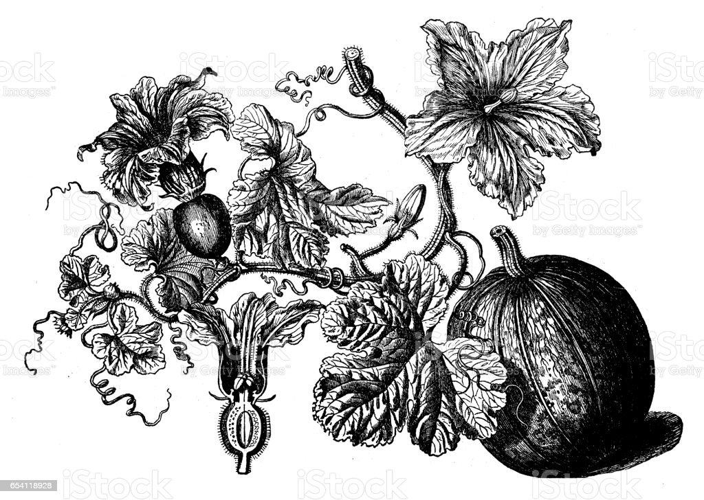 Botany plants antique engraving illustration: Cucurbita pepo (pumpkin) vector art illustration