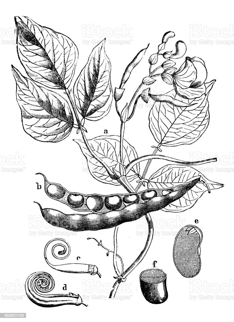 Botany plants antique engraving illustration: Phaseolus vulgaris (common bean) vector art illustration