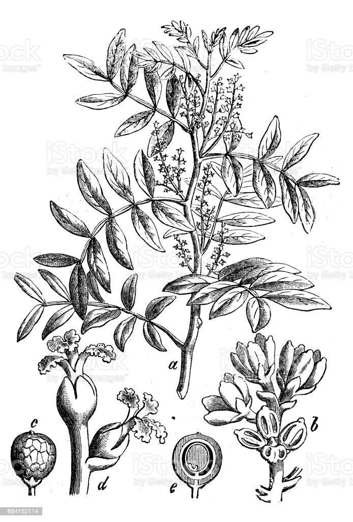 Botany plants antique engraving illustration: Pistacia lentiscus (mastic) vector art illustration