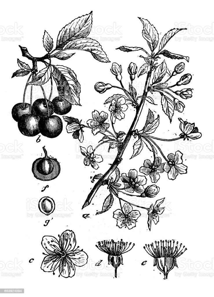 Botany plants antique engraving illustration: Prunus cerasus (sour cherry, tart cherry, dwarf cherry) vector art illustration