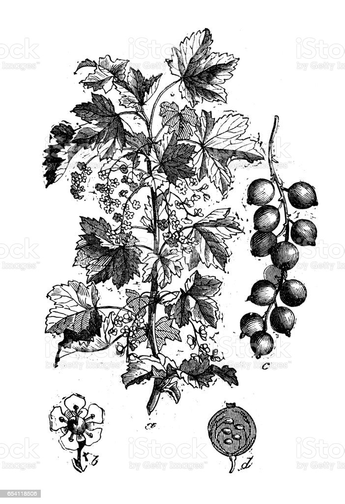 Botany plants antique engraving illustration: Ribes rubrum (red currant) vector art illustration