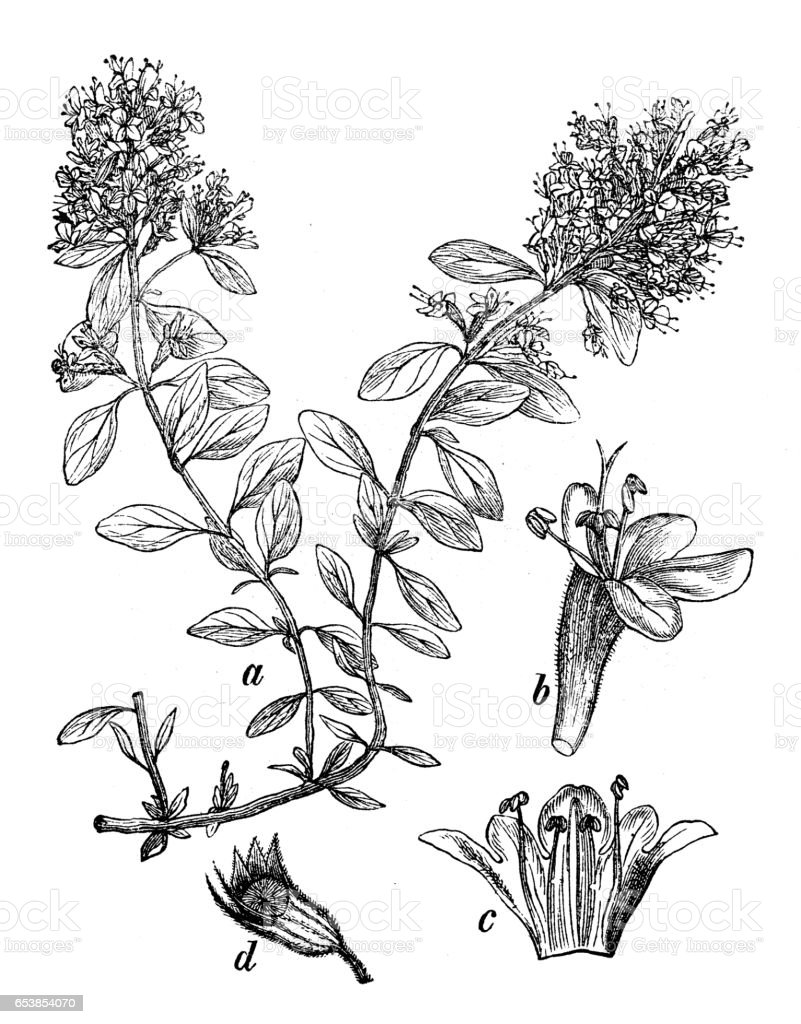 Botany plants antique engraving illustration: Thymus serpyllum (Breckland thyme, wild thyme or creeping thyme) vector art illustration