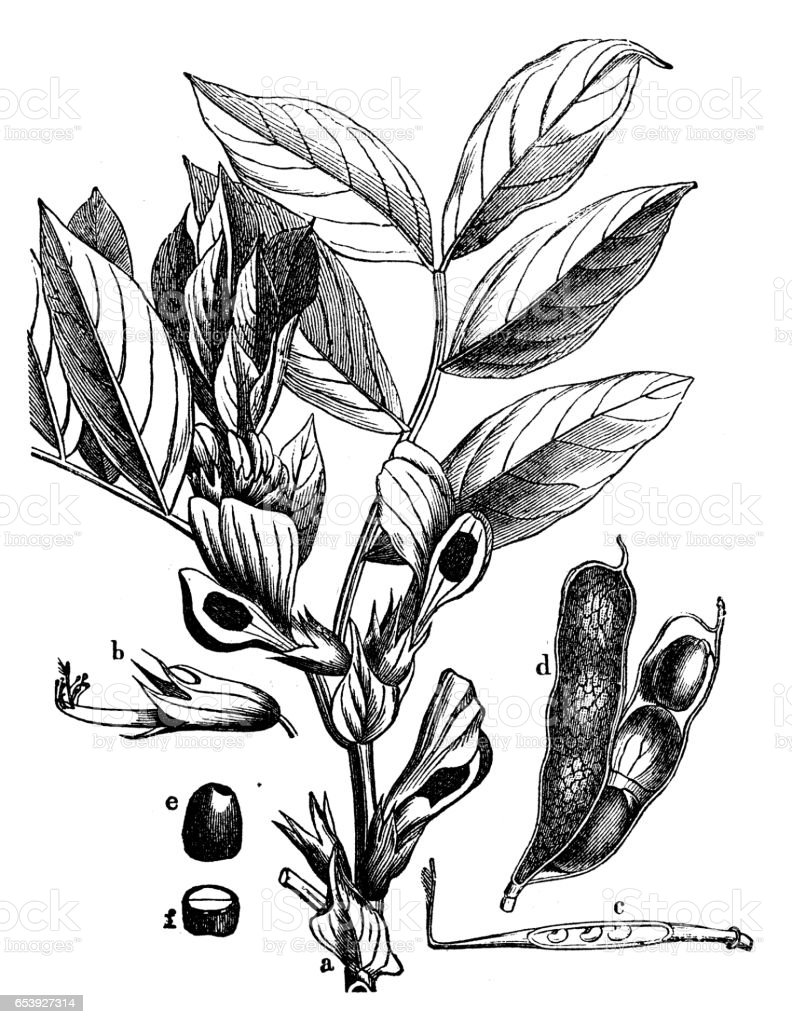 Botany plants antique engraving illustration: Vicia faba (broad bean, fava bean) vector art illustration