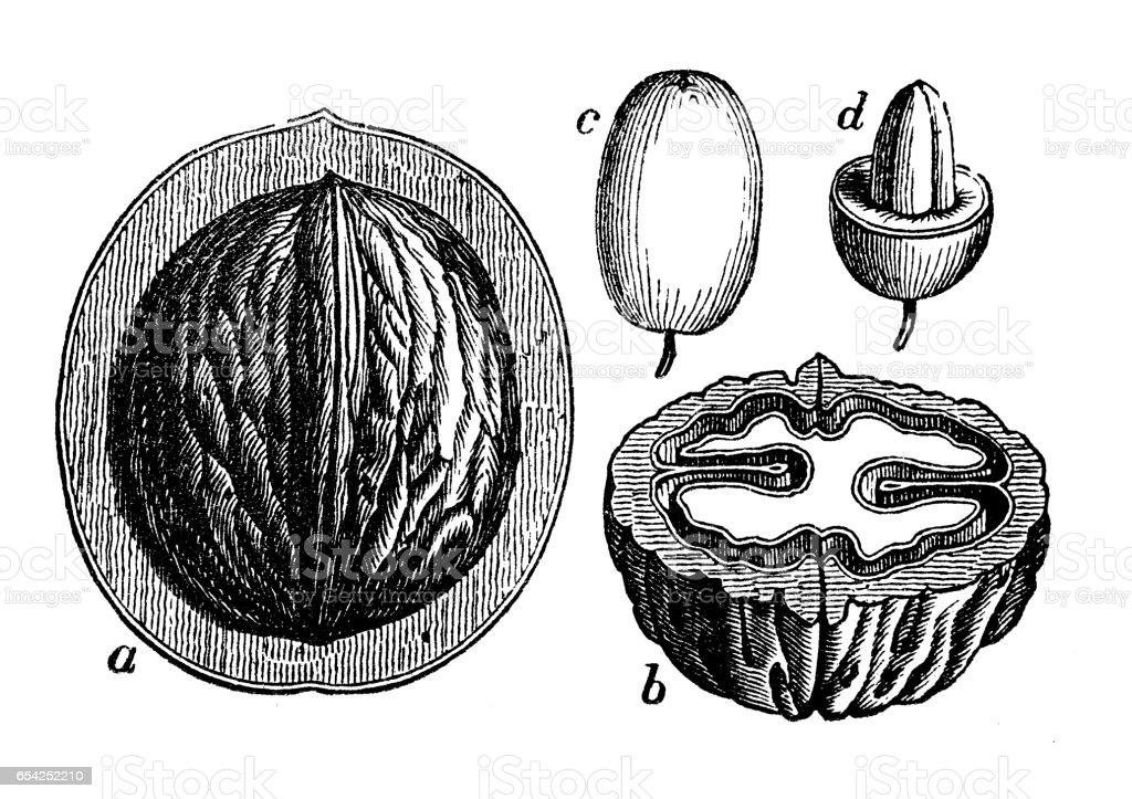 Botany plants antique engraving illustration: walnut, cornel vector art illustration