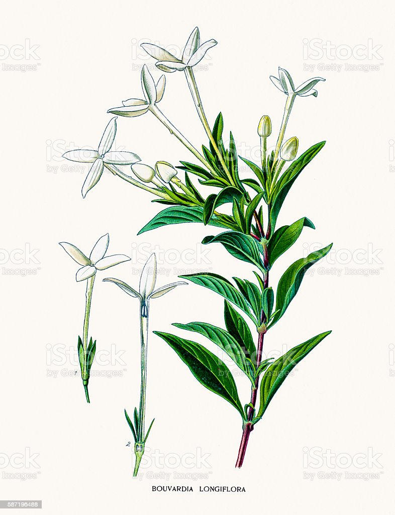 Bouvardia plant vector art illustration