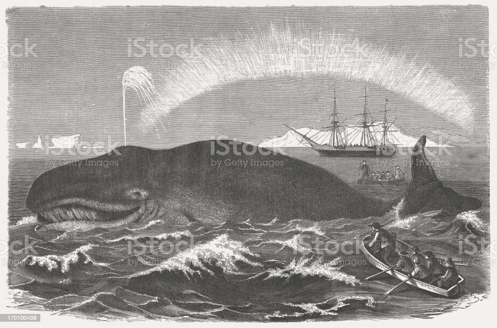 Bowhead whale is hunted, published in 1875 vector art illustration