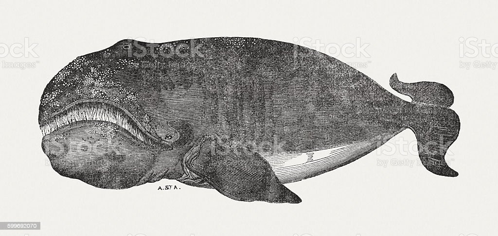 Bowhead whale (Balaena mysticetus), wood engraving, published in 1855 vector art illustration
