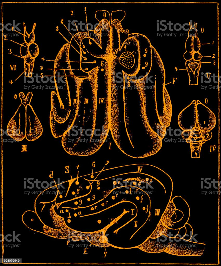 Brain anatomy vector art illustration