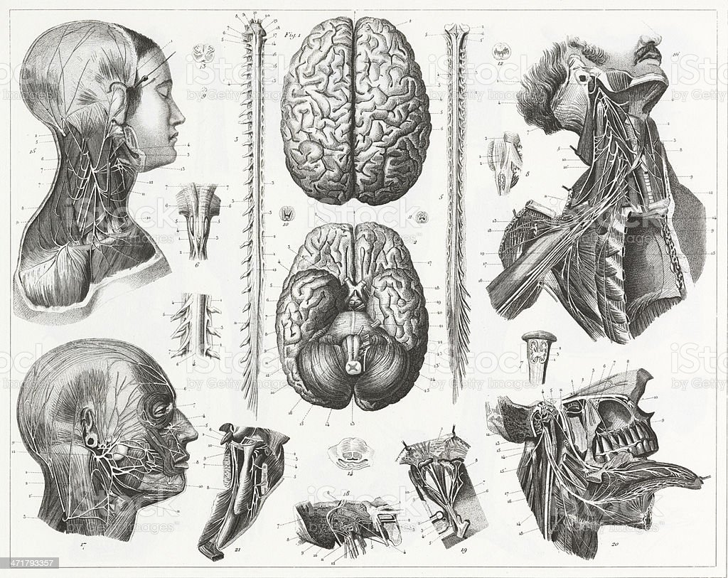 Brain and Nerves Engraving vector art illustration