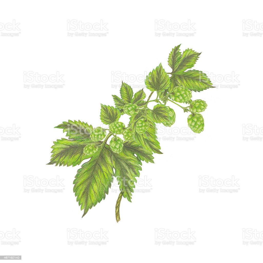 Branch of hops vector art illustration