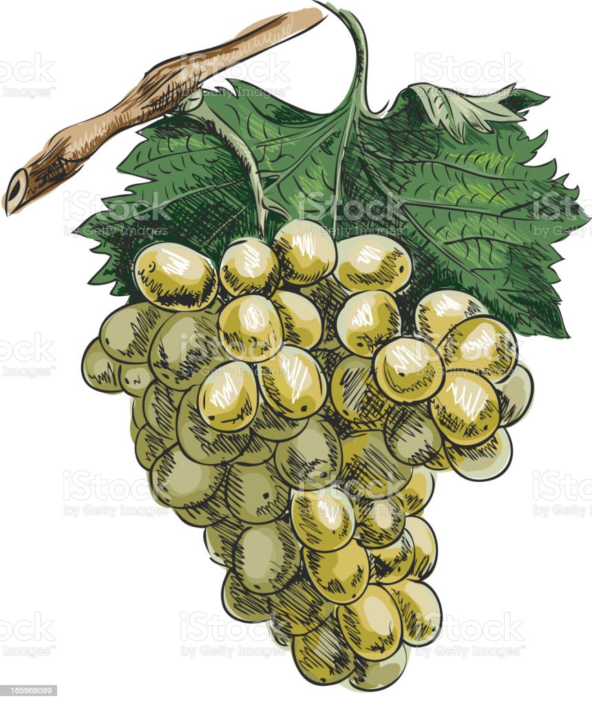 Branch with grape vector art illustration