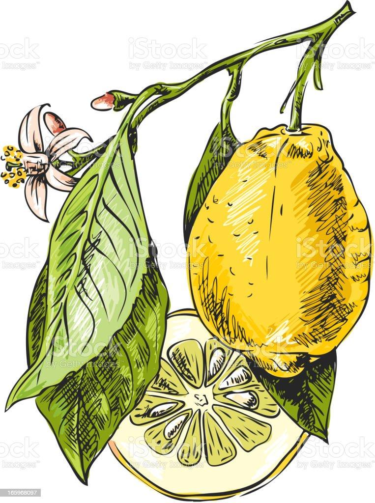 Branch with lemon vector art illustration