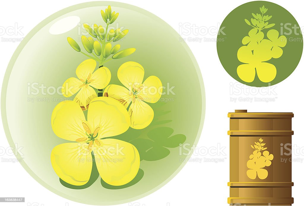 Brassica Plant Oil royalty-free stock vector art