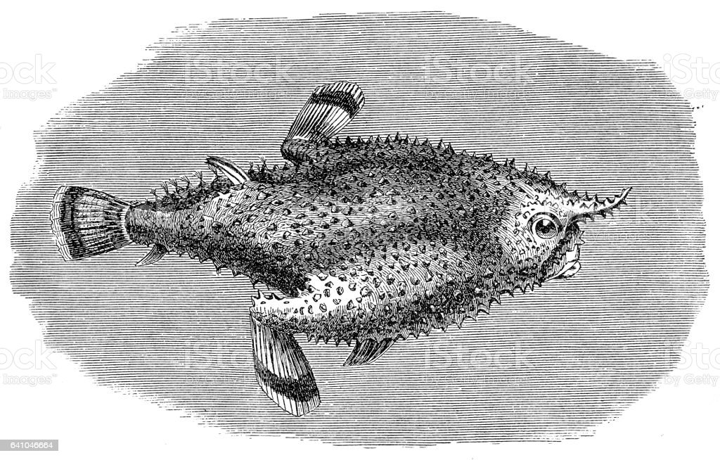 Brazilian batfish or Seadevil (Ogcocephalus vespertilio) vector art illustration
