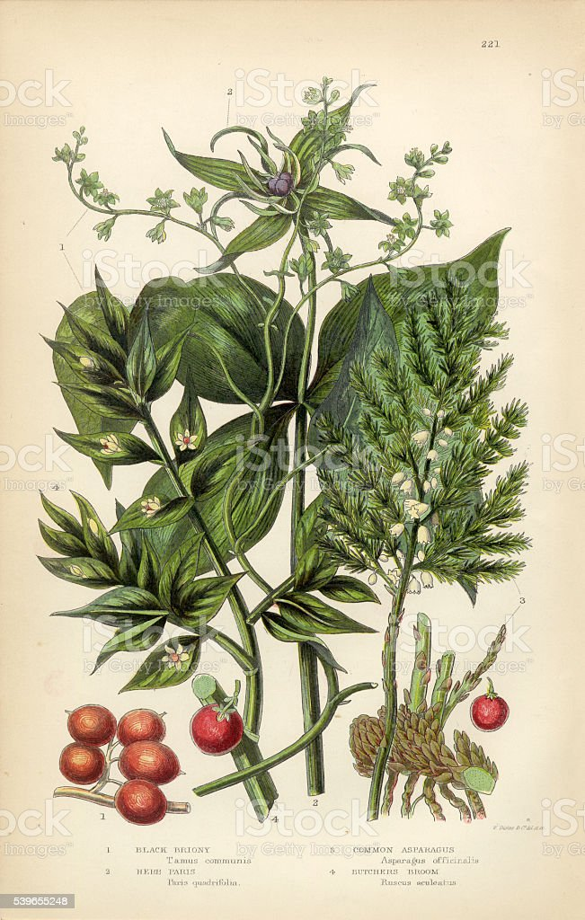 Briony, Black Briony, Asparagus, Butchers Broom Victorian Botanical Illustration vector art illustration