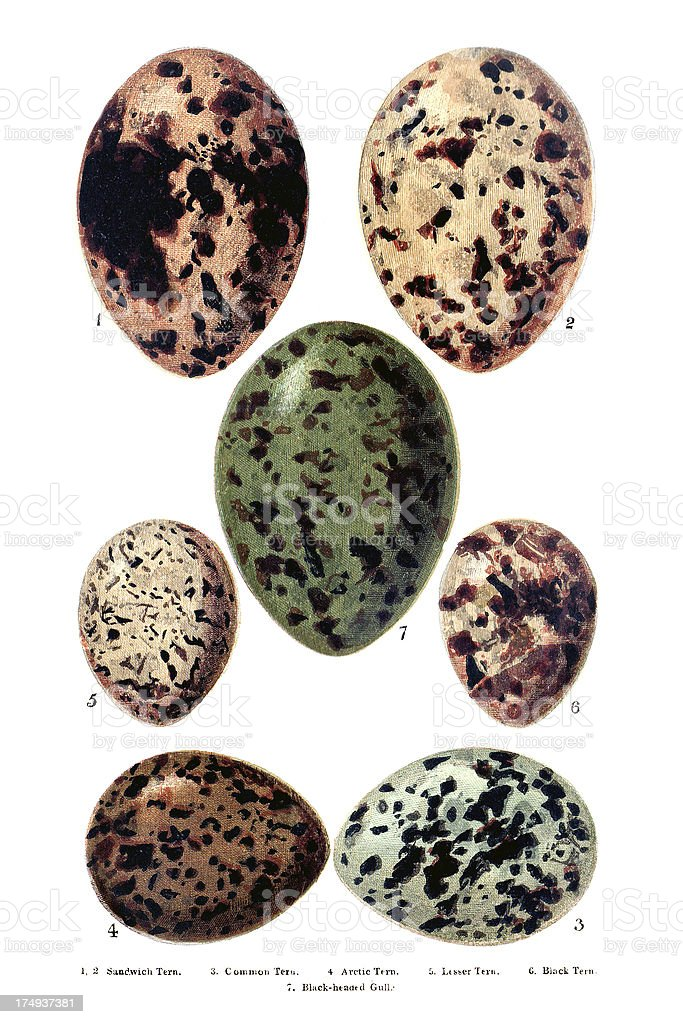 British - European Birds Eggs Engraving royalty-free stock vector art