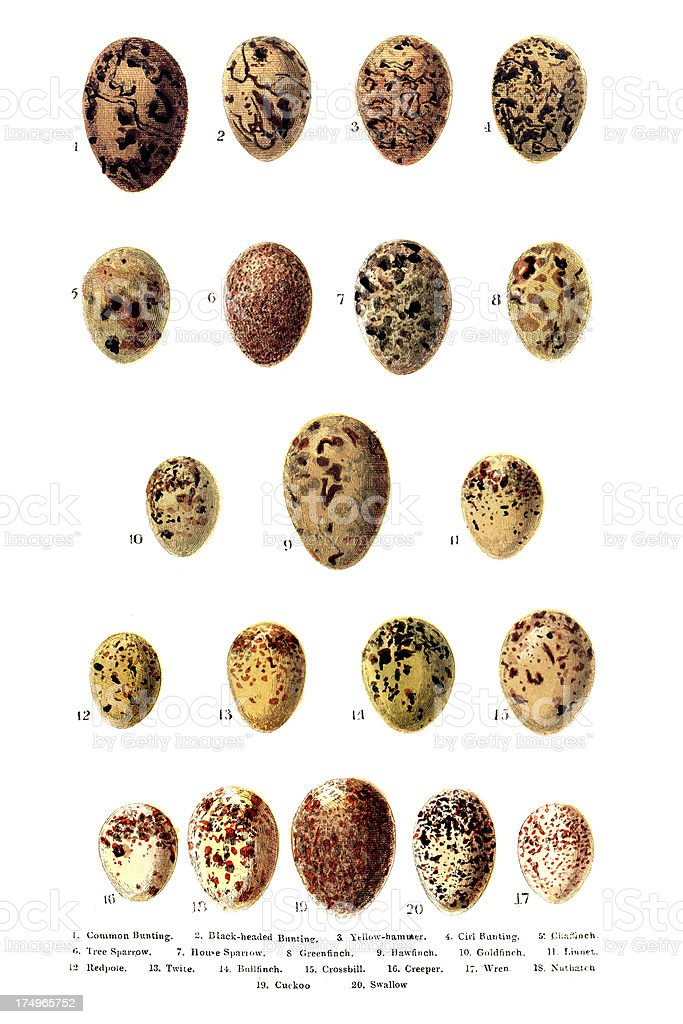 British - European Birds Eggs Engraving vector art illustration