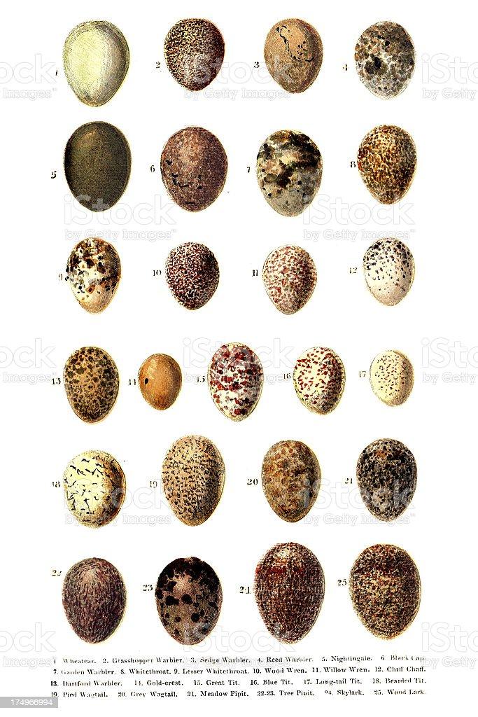 British - European Birds Eggs Engraving vector art illustration