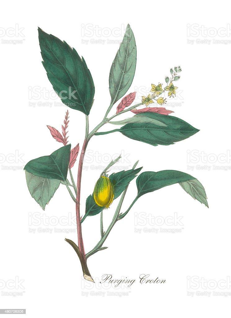 Bromeliad or Purging Croton Victorian Botanical Illustration vector art illustration