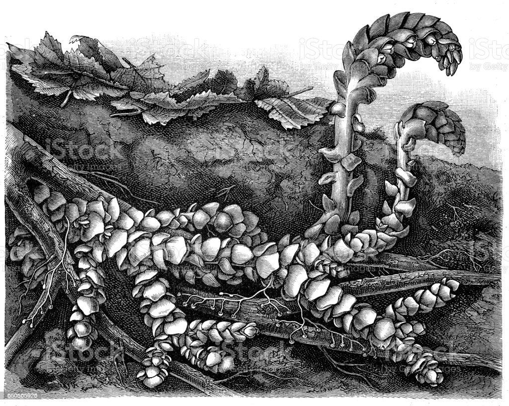 Broomrape, Clove, Orobanche, Red Broomrape, Toothwort (Lathraea squamaria) vector art illustration