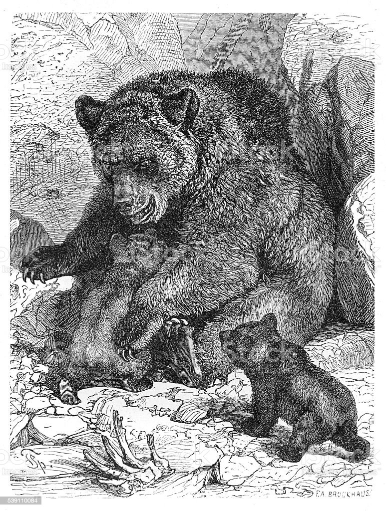 Brown bear and cubs engraving 1882 vector art illustration