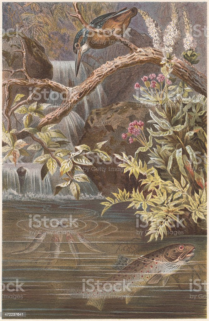 Brown trout and Kingfisher, lithograph, published in 1884 royalty-free stock vector art