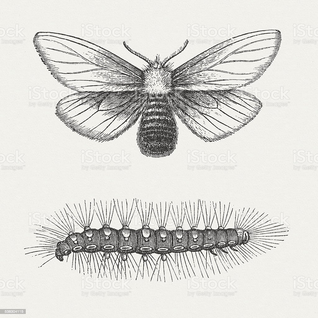 Brown-tail (Euproctis chrysorrhoea, female), wood engraving, published in 1882 vector art illustration