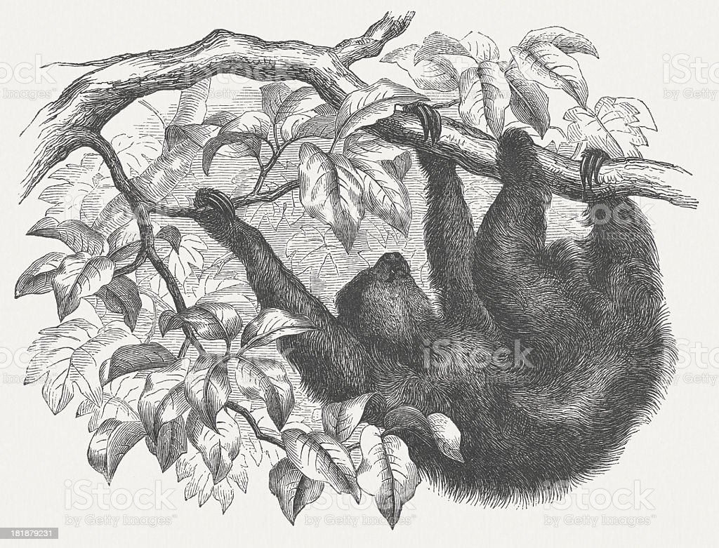 Brown-throated sloth (Bradypus variegatus), wood engraving, published in 1875 royalty-free stock vector art