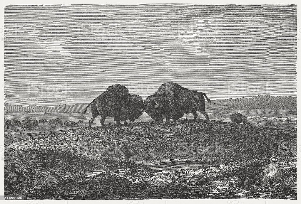 Buffalo herd on the prairie, wod engraving, published in 1880 vector art illustration