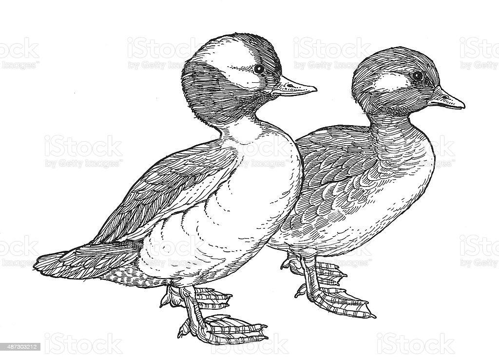 Buffelhead Ducks Lizenzfreies vektor illustration
